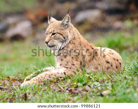 Lynx on the edge of the wood - stock photo