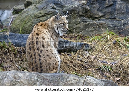 lynx on the rock