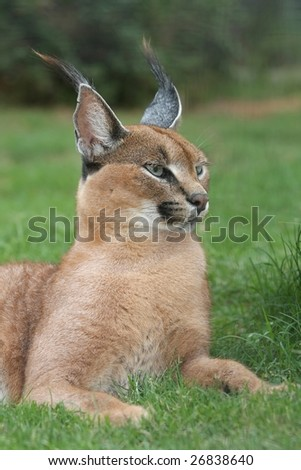Lynx or Caracal wild cat from Africa - stock photo