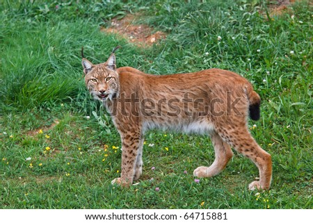 Lynx pardinus in a wild life park - stock photo