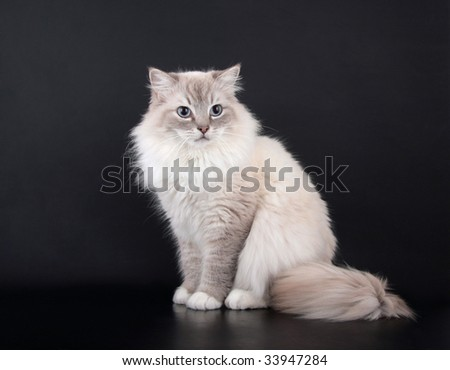 Lynx point Birman Cat sitting on black background - stock photo