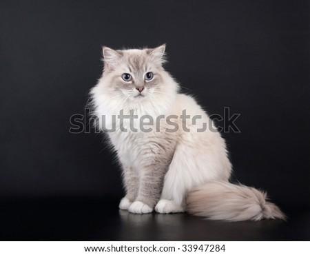 Lynx point Birman Cat sitting on black background - stock photo