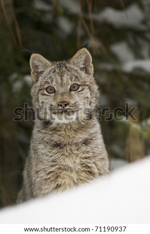 Lynx portrait in deep snow during winter time