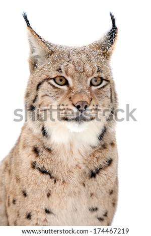Lynx portrait isolated on white background - stock photo