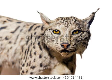 Lynx portrait on white background - stock photo