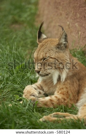 Lynx resting in the grass, tufty ears pointing upwards - stock photo