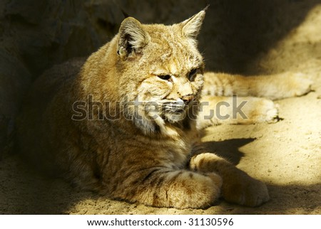 lynx resting in the shadow sunny day - stock photo