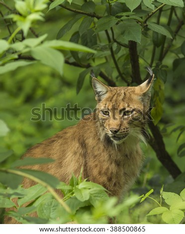 Lynx sitting in the dark forest. - stock photo