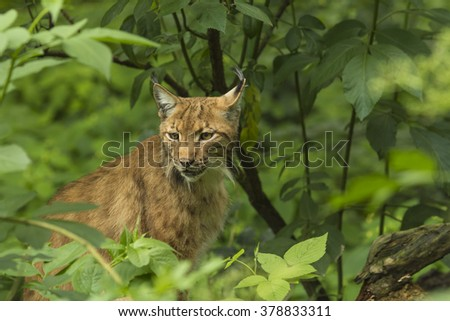 Lynx sitting in the dark forest. Wildlife photography. - stock photo