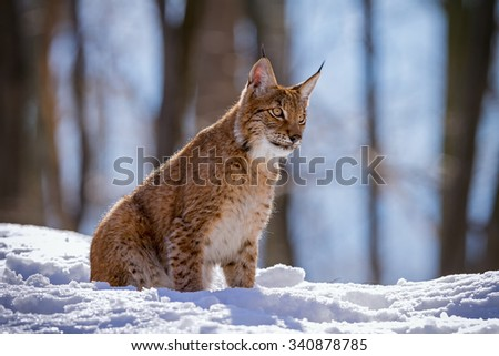 Lynx sitting in the woods in the snow - stock photo