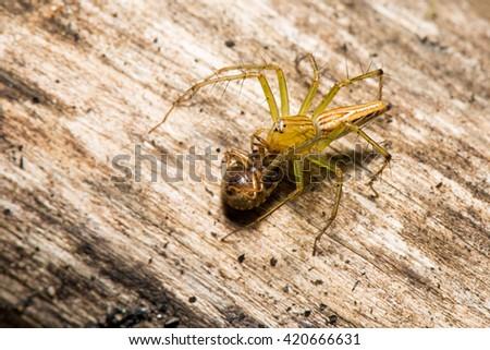 Lynx spider with prey - stock photo