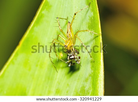 Lynx Spider, Yellow body and black legs eating black small jumping spider  as food on green leaf