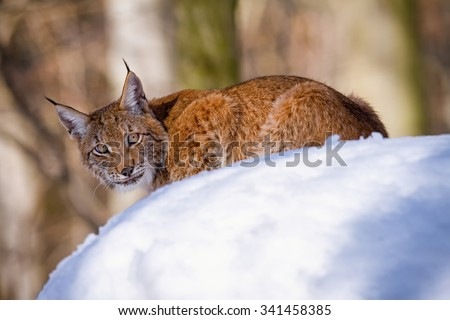 Lynx stalking its prey in the forest on the snow - stock photo