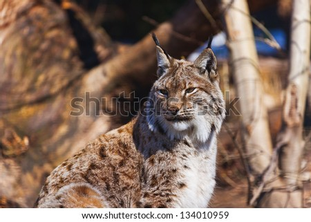 Lynx - zoo in Innsbruck Austria - animal background - stock photo