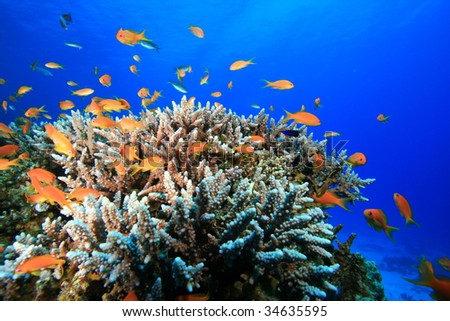 Lyretail Anthias and Acropora Coral