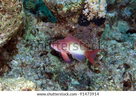 Lyretail anthias in the Red Sea