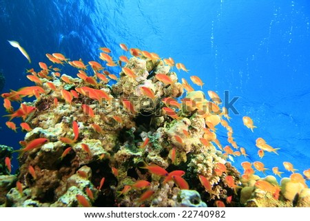 Lyretail Anthias (Jewell Fairy Basslets) over a coral reef