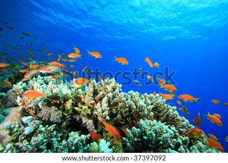 Lyretail Anthias on a coral reef
