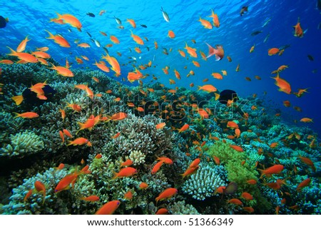 Lyretail Anthias on a tropical coral reef - stock photo