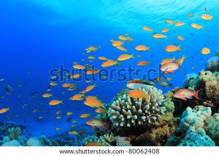 Lyretal Anthias fish and Hawkfish on a Coral Reef in the Red Sea - stock photo