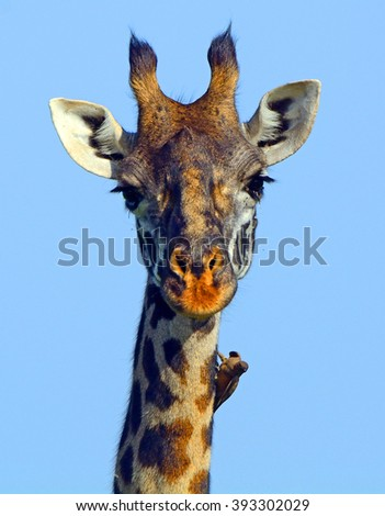Maasai giraffe and a red-billed oxpecker, Maasai Mara Game Reserve, Kenya - stock photo
