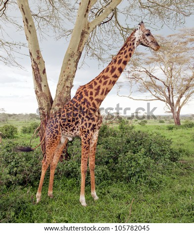 Maasai giraffes in Serengeti National Park - Tanzania, Africa - stock photo