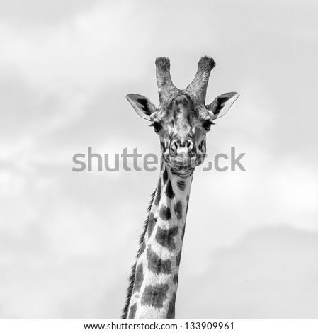 Maasai giraffes in the Masai Mara National Park - Tanzania, Eastern Africa (black and white) - stock photo
