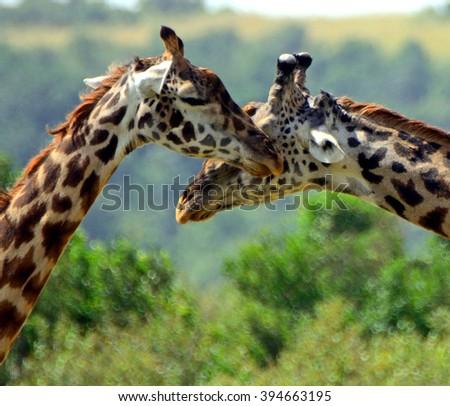Maasai giraffes, Maasai Mara Game Reserve, Kenya - stock photo