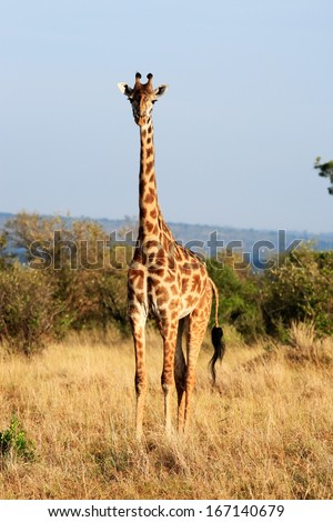 Maasai or Kilimanjaro Giraffe  grazing in the beautiful plains of the masai mara reserve in kenya africa - stock photo