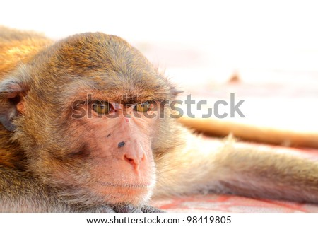 Macaca fascicularis - stock photo