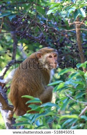 Macaca fascicularis (Long tailed macaque Monkey)