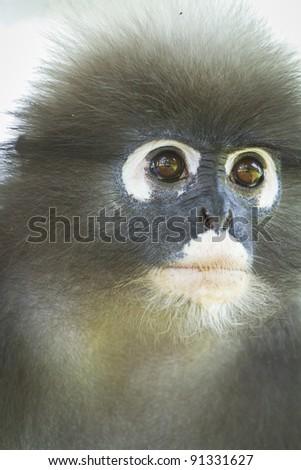 Macaque - stock photo