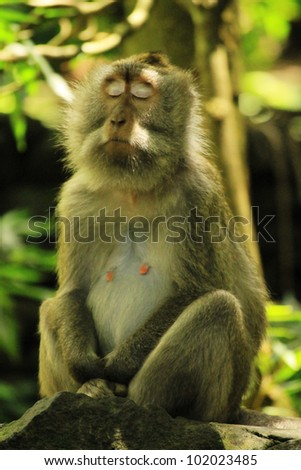 Macaque at monkey forest (Ubud, Bali) resting - stock photo