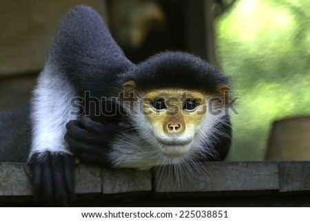 Macaque in Thailand - stock photo