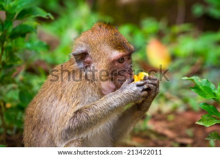 Macaque monkey in widelife, Thailand - stock photo