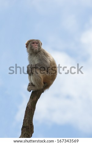 Macaque on treetop