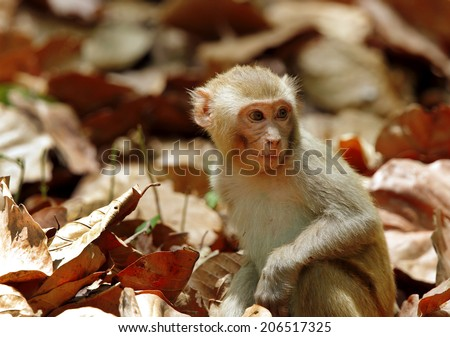 Macaque sitting in the mid of dry leaves