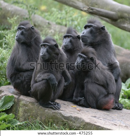 Macaques stare in wonderment - stock photo