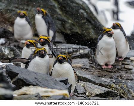 Macaroni Penguin (Eudyptes chrysolophus) - stock photo