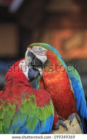 macaw bird sitting on the perch  - stock photo