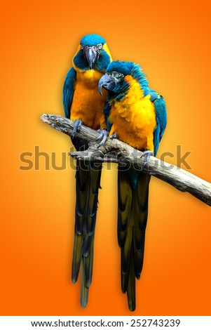 Macaw couple on a tree branch.
