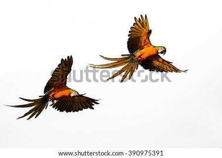 macaw flying in the sky. - stock photo