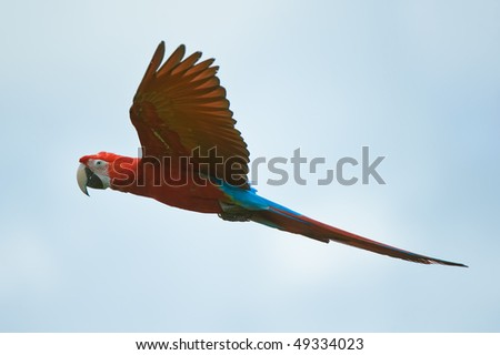 macaw flying in the sky - stock photo