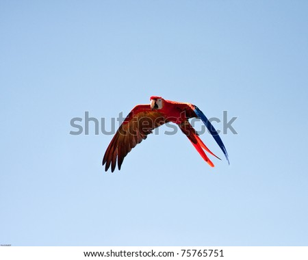 Macaw flying with a blue sky as background - stock photo