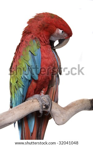 Macaw, Green Winged, Ara chloropterus, South America, isolated on white