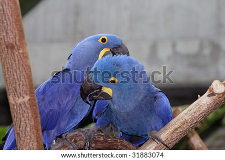 Macaw pair playing in a tree