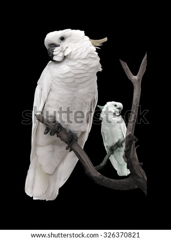 Macaw parrot isolated on a black background. - stock photo