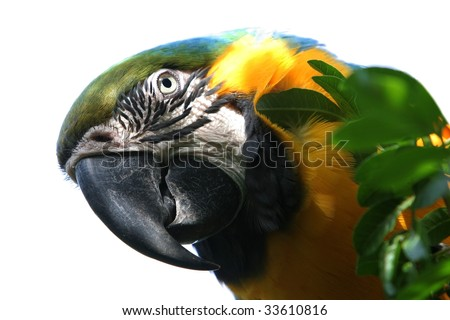 Macaw parrot isolated with white background - stock photo
