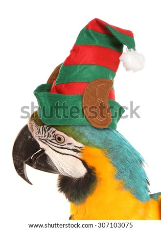 macaw parrot wearing a christmas elf hat studio cutout - stock photo