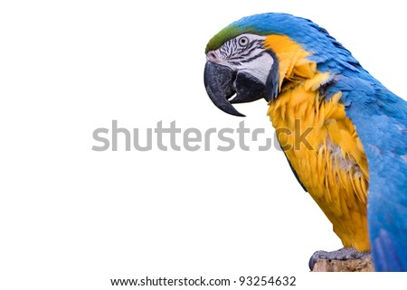 Macaw parrot with yellow and blue feathers - isolated on white background - stock photo
